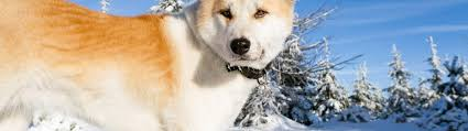 Do Akita Dogs Shed Hair by Akita Dog Breed Information Faq U0027s And Fun Facts 2018 Edition