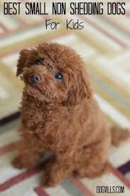 Hypoallergenic Non Shedding Small Dog Breeds by Best Small Non Shedding Dogs For Kids Shedding Dogs Allergies