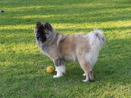 Do Akita Dogs Shed Hair by Long Haired Akita
