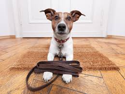 Stop Rat Terrier Shedding by How To Groom Your Jack Russell Happy Jack Russell
