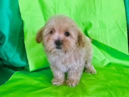 No Shed Dogs Illinois by Find Adorable Dogs And Puppies For Sale Online At Recycler Com