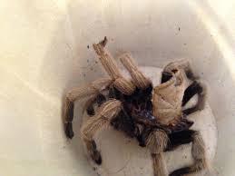 Pumpkin Patch Tarantula Scientific Name by Pets Beyond Cinderella