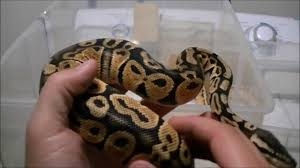 ball python eating bedding and some shout outs youtube