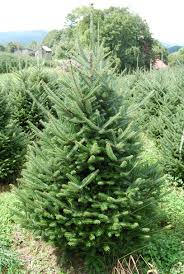 Fraser Fir Christmas Trees Artificial by Christmas Tree Tax Hart T Tree Farms