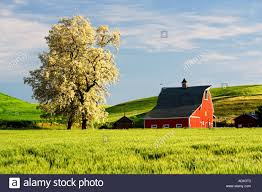 Red Barn And Blooming Tree With Rolling Hills Of Wheat The Palouse ... Red Barn Washington Landscape Pictures Pinterest Barns Original Boeing Airplane Company Building Museum The The Manufacturing Plant Exterior Of A Red Barn In Palouse Farmland Spring Uniontown Ewan Area Usa Stock Photo Royalty And White Fence State Seattle Flight Interior Hip Roof Rural Pasture Land White Fence On Olympic Pensinula