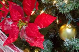 Poinsettia Big Red Flower For Christmas Tree Decoration Stock Photo