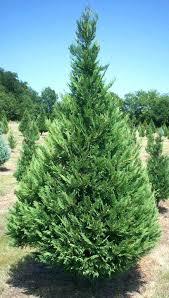 East Texas Tree Farm Cypress For Sale