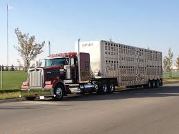 100 Cattle Truck KENWORTH Cattle Truck Cow Trucks S Semi Trucks Big Trucks