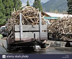 Truck Loads Of Elk Antlers Are Delivered During The 47th Annual Boy ... Photos Opening Day Of Wyomings Shed Hunting Season Outdoor Life Holiday Lighted Car Antlers Pep Boys Youtube Wip Beta Released Beamng Antlers The Cairngorm Reindeer Herd Dump Truck Full Image Photo Bigstock Atoka Ok Official Website Meg With Flowers By Myrtle Bracken Vw Kombi Worlds Best And Truck Flickr Hive Mind Amazoncom Bluegrass Decals Show Me Your Rack Deer May 2009 Bari Patch My Antler Base Shift Knob Elk Pinterest Cars Buck You Vinyl Window Decal Nature Woods Redneck