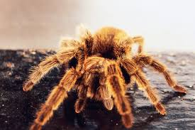 overview of molting in a pet tarantula