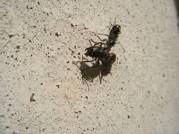 Carpenter Ants are Awake Colonial Pest Control