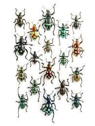 Weevils Credit Christopher Marley