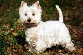 No Shed Small Dogs by Do Westies Shed Westie Charm