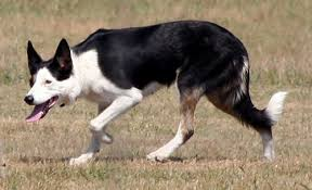 do blue heeler border collies shed coyote v border collie