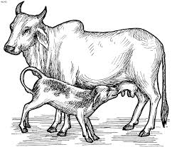 Cow Coloring Pages Kids