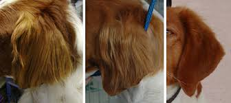 Do Brittany Spaniels Shed Hair by Brittany Grooming