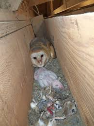 Barn Mice Usda Studying Iowa Rodents For Avian Flu Public Radio Subtle Elegancebarn Owl Canvas Print Art By Catherine Dubuque County Part Of Barn Owl Boom As Orphaned Owlets Find Home J Thaddeus Ozarks Cookie Jars And Other Larks Love These Meeces Deer Mice Mouse Control Rats New York Stock Photos Images Alamy Barn Cat Traing To Hunt Mice Youtube Tyto Alba Family Tytonidae Parent Bird Bring Its Removal Houston Dallas Fworth 911 Wildlife