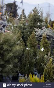 Christmas Trees Types by Eby Pines Christmas Trees Home Decorating Interior Design Bath