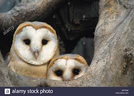 Barn Owl (Tyto Alba), Young Birds At Nesting Hole, United Kingdom ... This Galapagos Barn Owl Lives With Its Mate On A Shelf In The Baby Barn Owl Owls Pinterest Bird And Animal Magic Tito Alba Sitting On Stone Fence In Forest Barnowl Real Owls Echte Uilen Wikipedia Secret Kingdom Young Tyto Roost Stock Photo 206862550 Shutterstock 415 Best Birds Mostly Uk Images Feather Nature By Annette Mckinnnon 63 2 30 Bird Great Grey