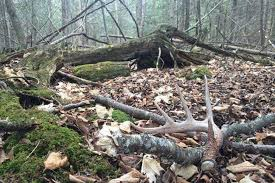 Deer Antler Shedding Cycle by The Truth About Shed Hunting North American Whitetail