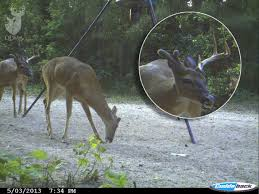 When Do Whitetails Shed Their Antlers by Weird Buck Won U0027t Shed His Antler Qdma