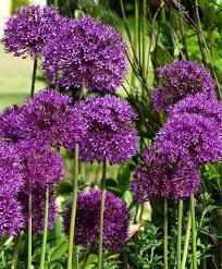 allium aflatunense purple sensation allium flower bulb index