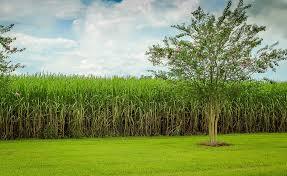 Sugarcane Cliparts 9 Buy Clip Art