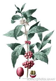 Coffe Plant Botanical Illustration Of The Coffee For Sale Brisbane Best Plantation Hawaii
