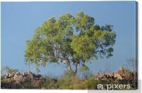 leinwandbild australische eukalyptus baum vor einem blauen himmel