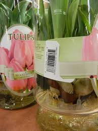 l jackson new jersey gardens water grown tulips and
