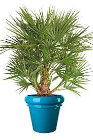la culture des palmiers en extérieur