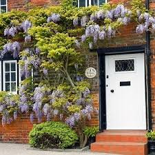 planting wisteria in a pot growing wisteria in pots is magic iota designer planters