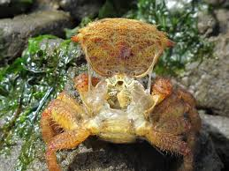 Decorator Crabs Reef Safe by Decorator Crab Not Moving Okayimage Com