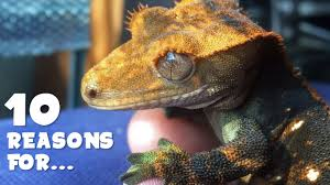 Crested Gecko Shed Box by Stunted Growth Loss Of Appetite Crested Gecko Youtube