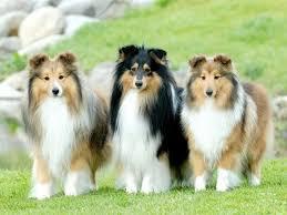 580 best shelties images on pinterest sheltie shetland sheepdog