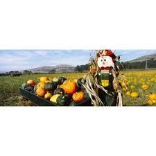 Pumpkin Patch Half Moon Bay Ca by Scarecrow In Pumpkin Patch Half Moon Bay California Usa Canvas Art