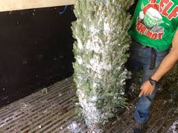 Fresh Christmas Trees Arrive In Miami Covered Snow From North Carolina