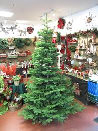 Types Of Live Christmas Trees by Fraser Fir Huntersgardencentre Com