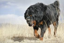 Best Guard Dogs That Dont Shed by 20 Biggest Giant Dog Breeds Largest Dog Breed Photos
