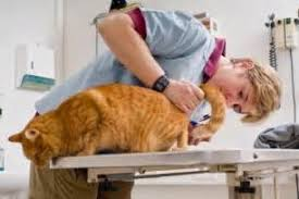 signs of worms in cats how to check cats for worms signs of worms in cats tridanim