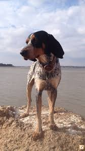 Do Bluetick Coonhounds Shed by Bluetick Coonhound Help Texasbowhunter Com Community Discussion
