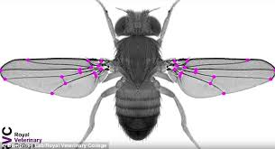 Scientists create insects capable of turning and dodging faster in