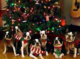 Are Christmas Trees Poisonous To Dogs Uk by 245 Best Christmas With Critters Images On Pinterest Animal