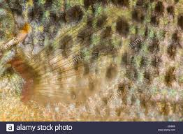 Pumpkin Seed Sunfish Pictures by Pumpkinseed Sunfish Stock Photos U0026 Pumpkinseed Sunfish Stock