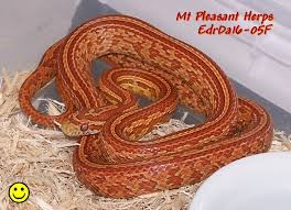 Corn Snake Shedding Time by Ultramel Hypo Strawberry Tessera Het Tequila Sunrise Anery Ph
