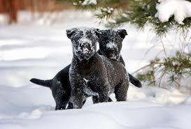 Cane Corso Mastiff Shedding by Cane Corso Dog Breed Gallery