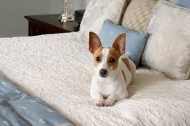 Rat Terrier Excessive Shedding by 25 Most Affordable Low Cost Dog Breeds That Anyone Can Adopt