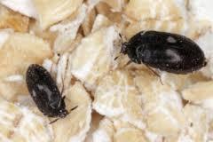 kleine braune käfer die 5 häufigsten arten