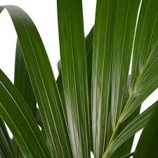 zimmerpflanze kentia palme höhe 120 cm
