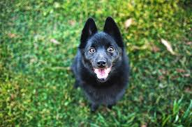 Cute Low Shedding Dogs by Schipperke Dog Breed Information Pictures Characteristics